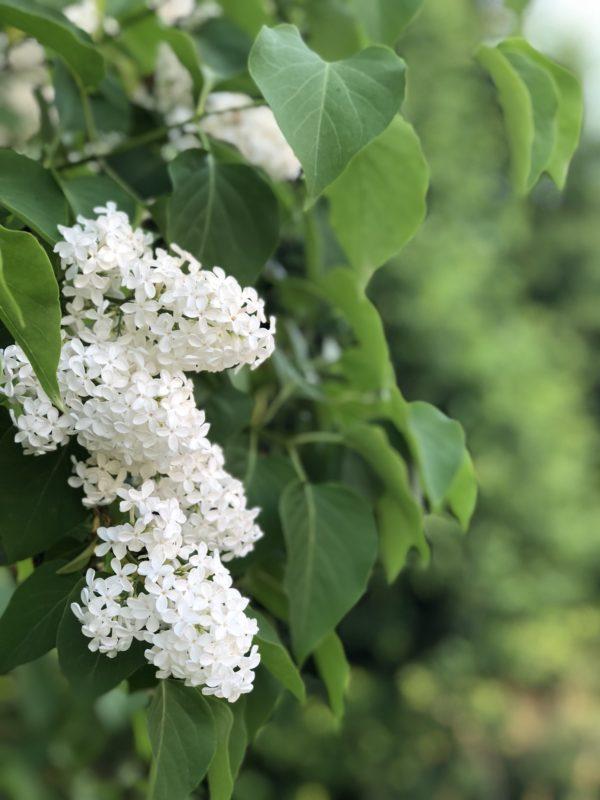 Blomster av hvit syrin og grønne blader