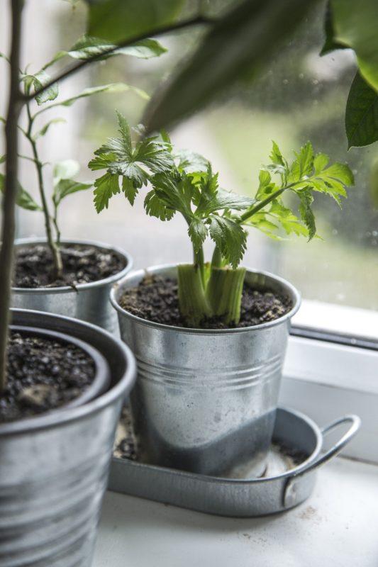 stangselleri i potte i vinduskarmen