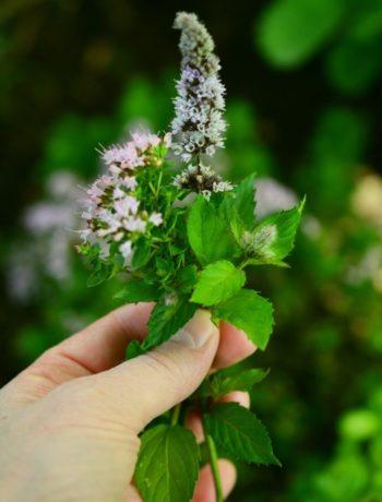 Grønne urter i bukett i hånd